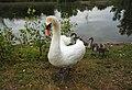 Cygnus olor у Чорторийському орнітологічному заказнику.jpg
