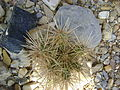 Cylindropuntia imbricata (5664891895).jpg
