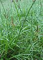 Cyperus cf. rotundus (Mindanao, Philippines).jpg