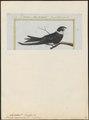 Cypselus cayennensis - 1700-1880 - Print - Iconographia Zoologica - Special Collections University of Amsterdam - UBA01 IZ16700099.tif