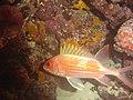 DSC00218 - peixe - Naufrágio e recifes de coral no Nilo.jpg