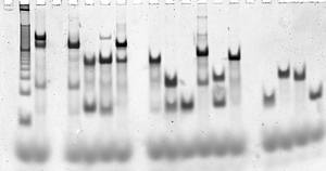 DNA nanotechnology - Gel electrophoresis methods, such as this formation assay on a DX complex, are used to ascertain whether the desired structures are forming properly.  Each vertical lane contains a series of bands, where each band is characteristic of a particular reaction intermediate.