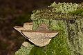 Daedalea quercina - Eichen-Wirrling - oak mazegill - maze-gill fungus - dédalée du chêne - 07.jpg