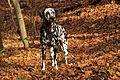 Dalmatian Angie.jpg