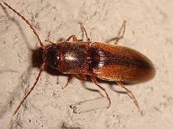 Ruskea Kovakuoriainen