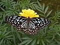 Dark blue Tiger butterfly from Kerala.jpg