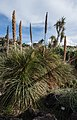 Dasylirion serratifolium - Jardín Botánico Canario Viera y Clavijo - Gran Canaria.jpg