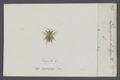 Dasypoda - Print - Iconographia Zoologica - Special Collections University of Amsterdam - UBAINV0274 045 05 0059.tif