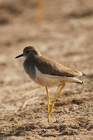 White-tailed lapwing - Image: Davidraju IMG 3594 (cropped)