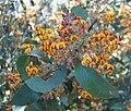 Daviesia latifolia.jpg