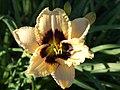 Daylily (Cream with a reddish throat.).jpg