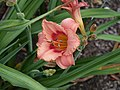 Daylily Peach with Red Throat.jpg