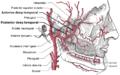 Deep temporal arteries.png