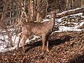Deer, Mount Lebanon, 2015-02-20, 04.jpg
