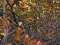 Deer-brush - West Virginia - ForestWander.jpg