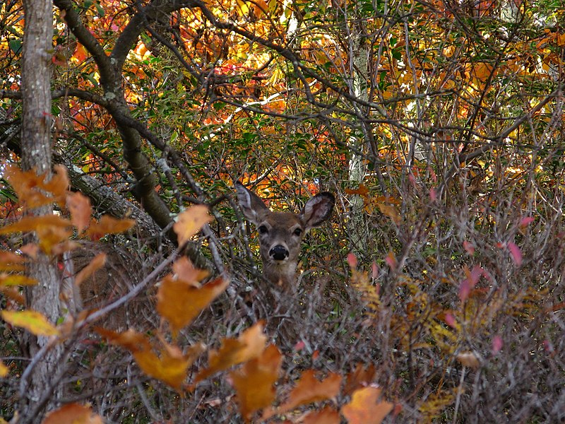 File:Deer-brush - West Virginia - ForestWander.jpg