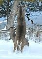 Deer Fight in the Back Yard -- Drummond Island, Michigan in Winter - 49714062901.jpg