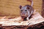 180px-Deer_mouse%2C_Peromyscus_maniculatus_8360_lores