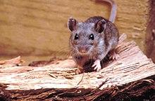 Dissertation de la souris