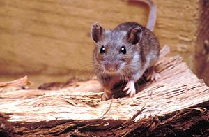 300px Deer mouse%2C Peromyscus maniculatus 8360 lores How to Eliminate Rodents From Around the Home