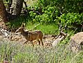 Deer on Emerald Pools Trail, Zion 5-14 (15767251914).jpg