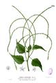 Deeringia amaranthoides Blanco2.236.png
