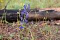 Delphinium scopulorum - Flickr - aspidoscelis (3).jpg
