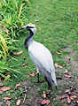 Demoiselle Crane, London Wetland Centre, Barnes..jpg