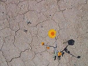 A lone Desert Marigold pushes through the crac...