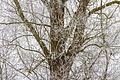 Detail van een met rijp bedekte eik (Quercus).jpg