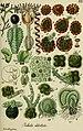 Deutschlands flora in abbildungen nach der natur (1832) (20701472900).jpg