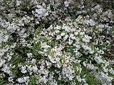 Deutzia-gracilis-slender-deutzia-0b.jpg
