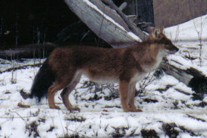 Wildlife of Bhutan - The most endangered Asia top predator of 2010, the dhole is on edge of extinction. There remain less than 2500 members of species in the world.