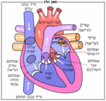 Diagram of the human heart he.png