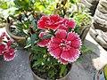 Dianthus barbatus, the sweet William flower.jpg
