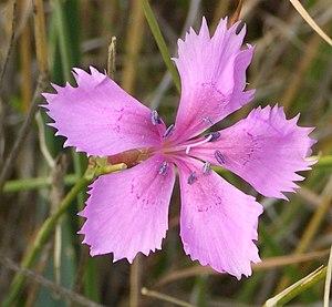 Dianthus - Dianthus caryophyllus flower