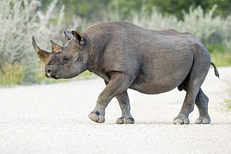 Black rhinoceros - South-western black rhinoceros in Etosha National Park.