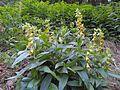 Digitalis grandiflora Postavarul2.jpg