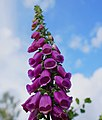 Digitalis purpurea - Revebjelle 1 (852836217).jpg