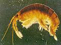 Dikerogammarus villosus (8740859563).jpg