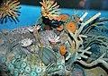 Diorama of a Devonian seafloor - trilobites, fenestrate bryozoan, corals, algae, crinoid stem (43838404040).jpg