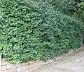 Diospyros whyteana Bladdernut tree hedge Cape Town 3.jpg