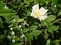Dog rose and dogwood - geograph.org.uk - 188102.jpg