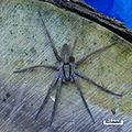 Dolomedes-minor-Nursery-Web-Spider.jpg