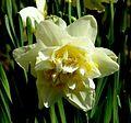 Double Daffodil (5690585836).jpg