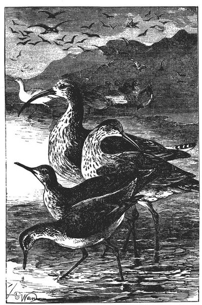 File:Drawing of a Group of Shore Birds.jpg