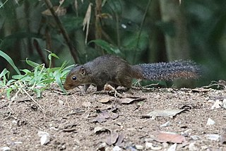 Asian red-cheeked squirrel