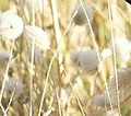 Dried grass in summer.jpg