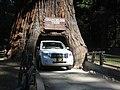 Drive thru tree, Legget, CA.jpg