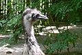 Dromaius novaehollandiae - Großer Emu 02.jpg